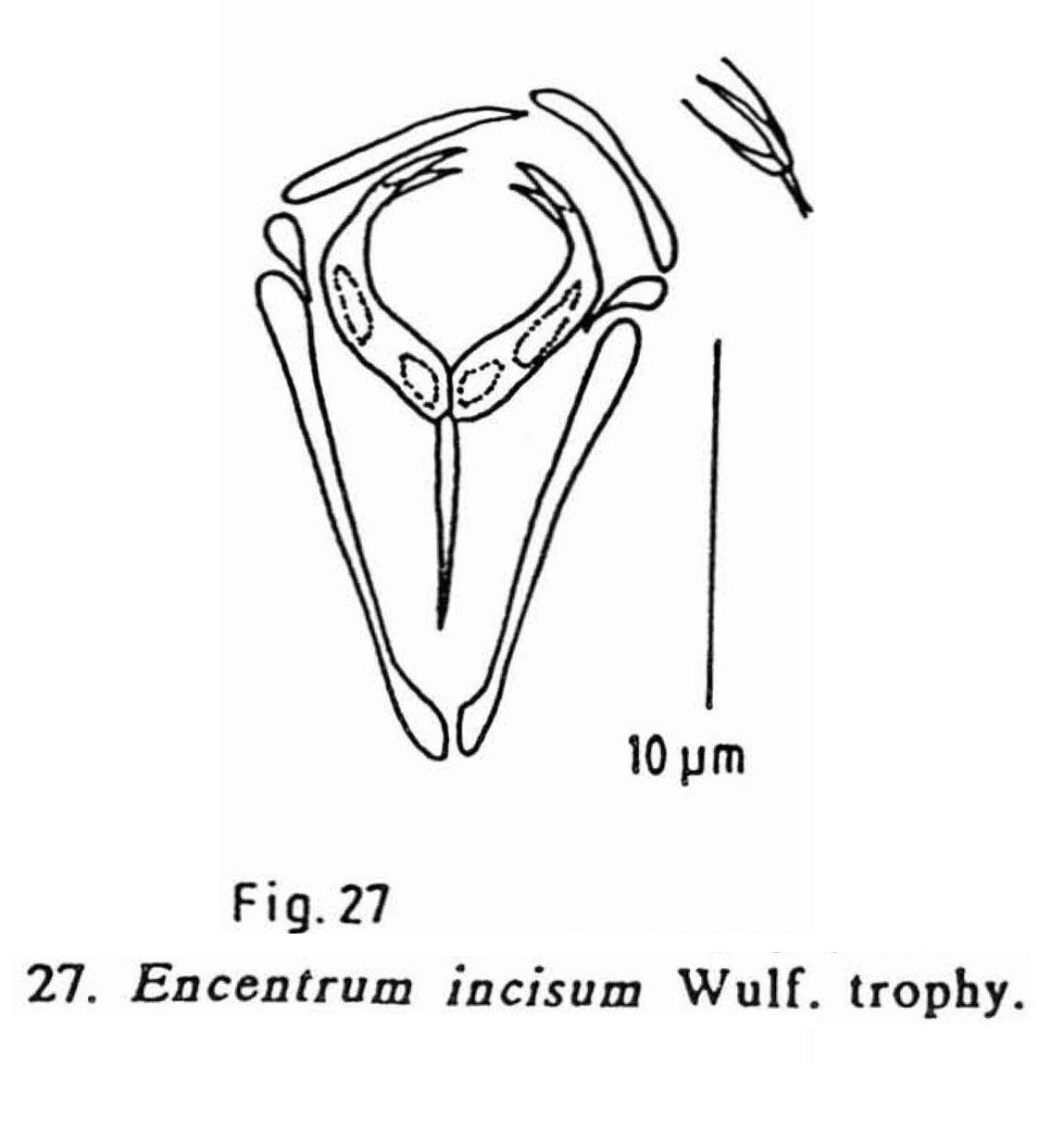 Encentrum incisum wulfert 1936